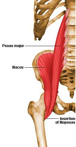 musculos iliaco psoas